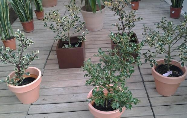 Planta de Acebo Navideño 5,95€