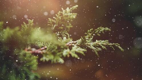 Abeto de Navidad natural