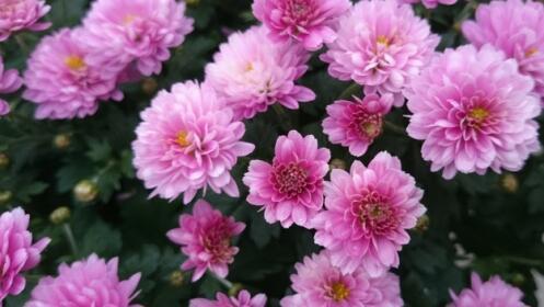 Flores para Todos los Santos: crisantemo