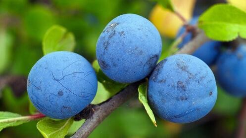 Lote de 4 frutales de 3-4 años en maceta