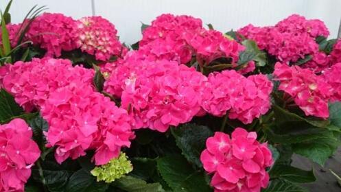Preciosa Hortensia para el Día de la Madre
